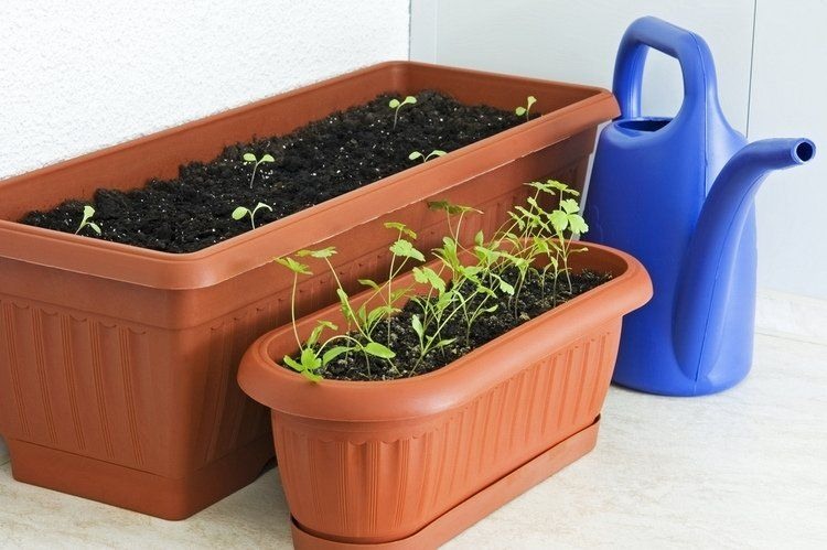 How To Plant Parsley