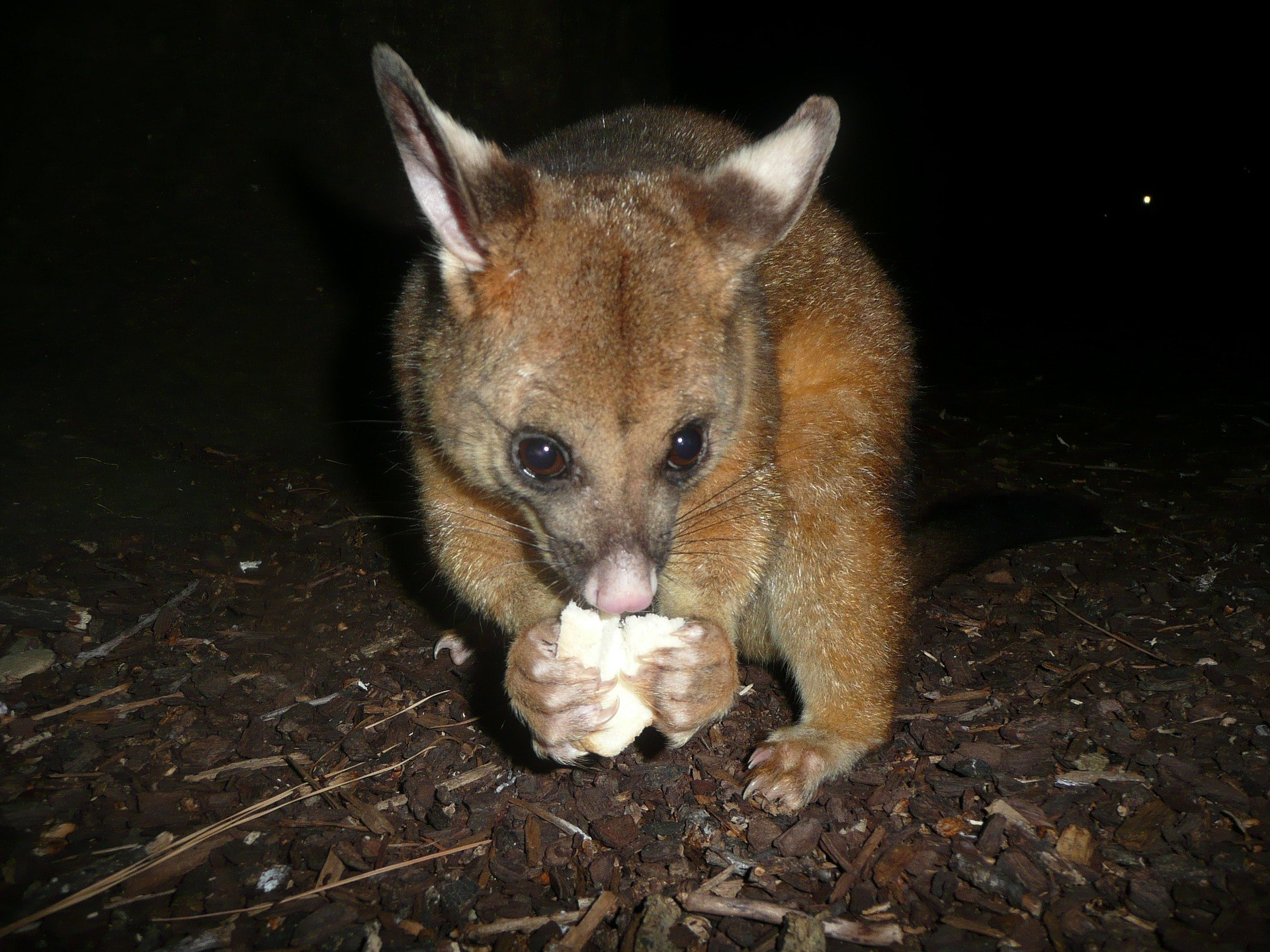 are possums dangerous